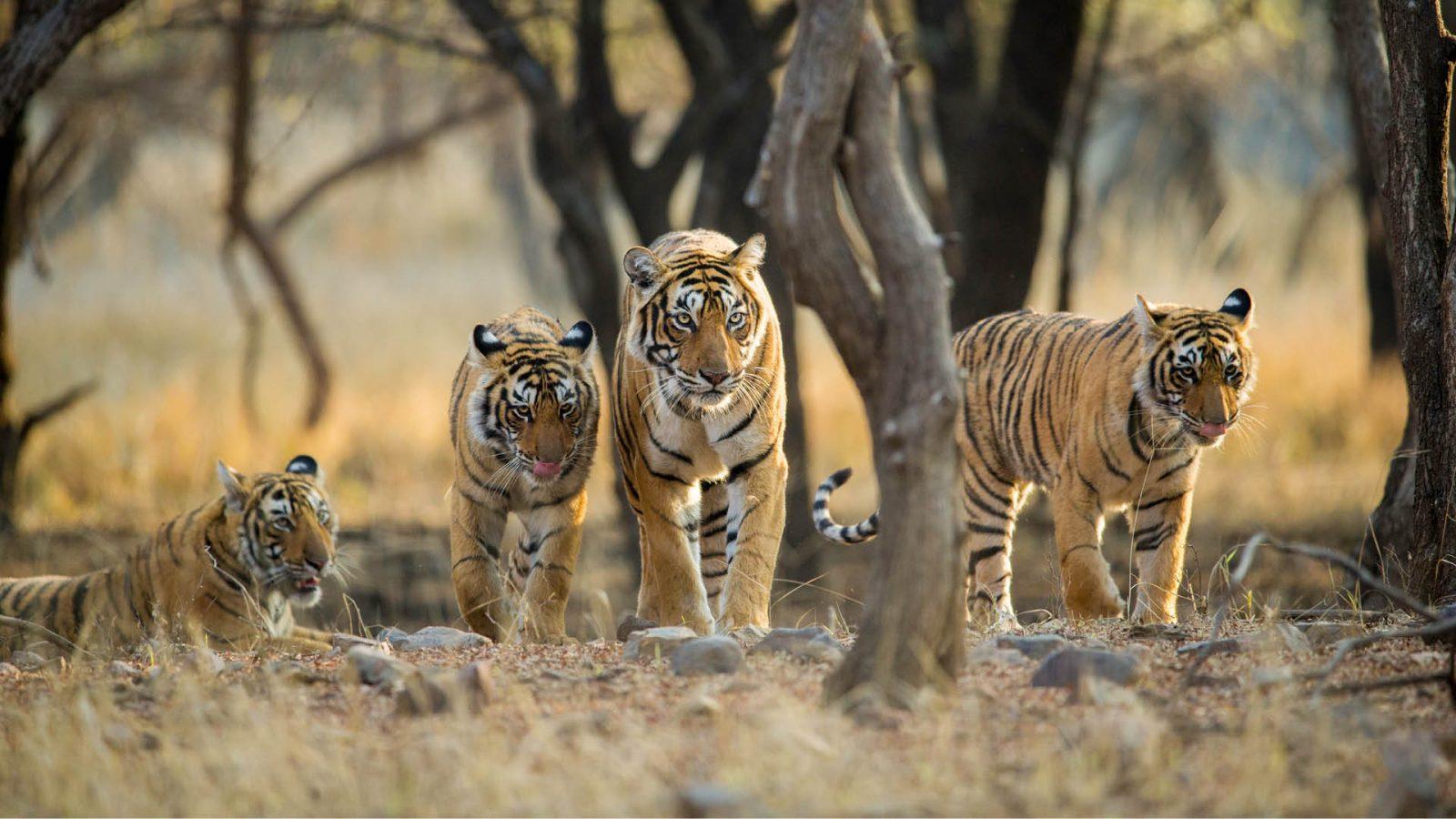ranthambore national park india tiger
